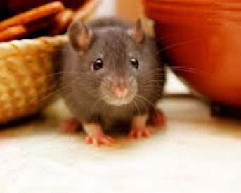 Rodent Rat and Mice Control Liverpool
